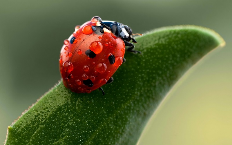Ladybug-Macro-Wallpaper